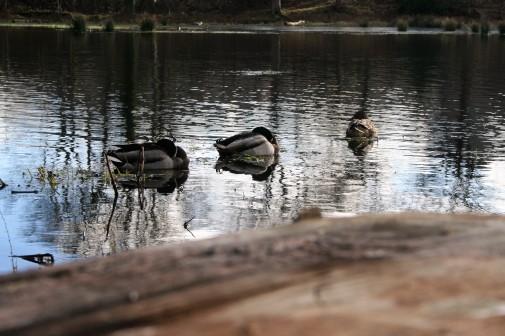 Mallards doze on the water